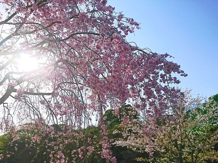 #flower  #桜 #cherryblossom Tree Sky Growing