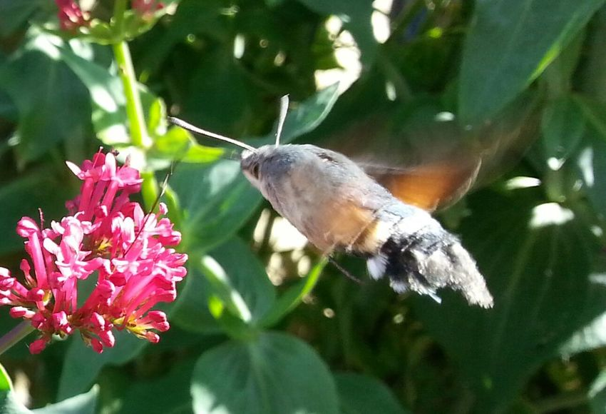 Hummingbird Hawkmoth Insects  Nature Beauty In Nature Plants And Flowers Collecting Nectar
