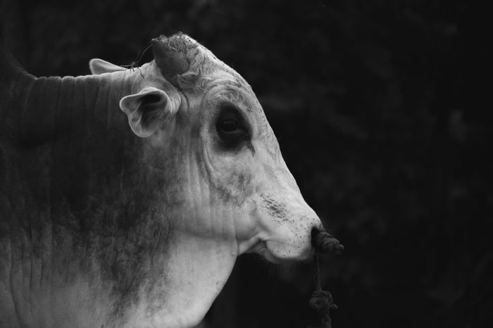 Portrait of a Cow EyeEmNewHere Fufu NikonAsia River Nature Earth Life Love Photographyeveryday Photographyislife Amazing Photograph Photography Photogrid Photographer Photoshoot Photographysouls Neverstopexploring  Wanderlust Look Photos Picoftheday Instagood Pictures Instatravel Photooftheday Monochrome Blackandwhite Photo Black Background No People Close-up Rhinoceros Mammal Day