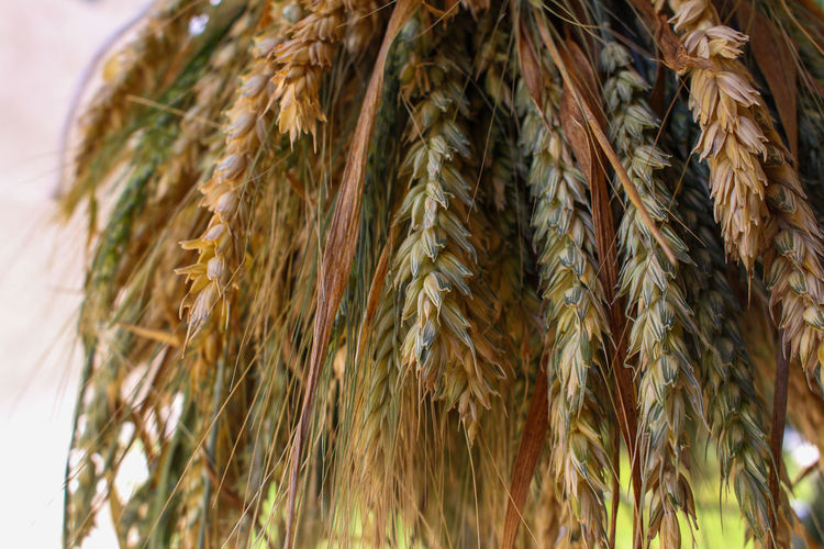 Close-up Day Georgia Growth Nature No People Outdoors Plant Summer Wheat