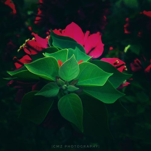 Leaf Plant Growth Red Green Color Flower Nature No People Outdoors Close-up Beauty In Nature Day Fragility Freshness Flower Head