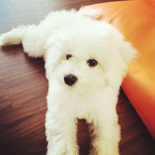 Hello everypawdy!! 🐾🐾 Dog Doglover Bichonfrise Hello Everypawdy Cute Cute Pets 😚 Dogsofeyeem Dogsofinstagram