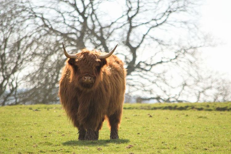 Highland cow standing in field