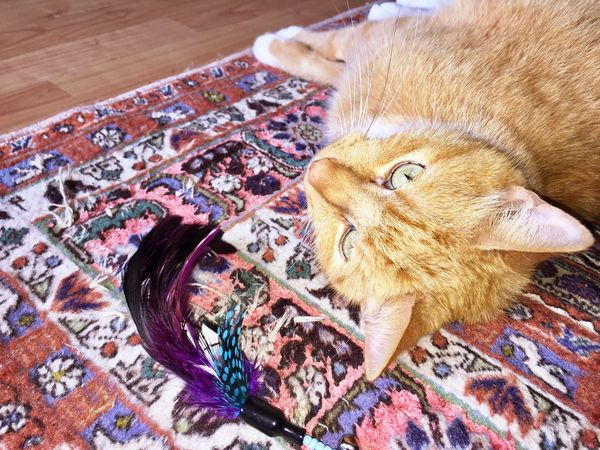 TIP is well 😸💖 Cat Of EyeEm 3XPSUnity Cat Love ♥ My Friend ❤ Cat Lovers 🐱💞 I Love My Cat I Love My Cat ❤ Cat Pose Cat Photography Feathers Purple Feathers Katzenfoto Cat Power Cat Toy Cat♡