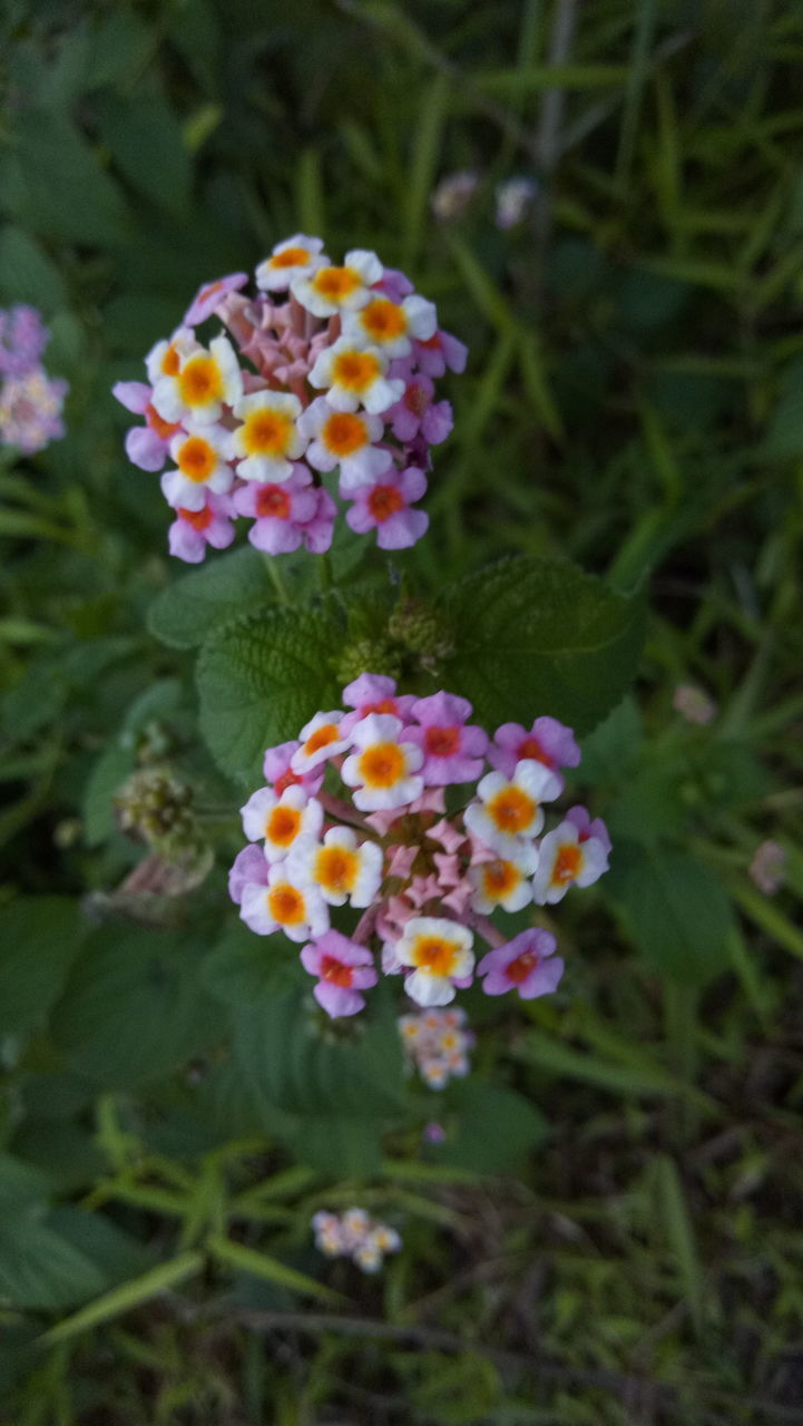 flower, flowering plant, beauty in nature, plant, vulnerability, lantana, fragility, freshness, growth, petal, close-up, flower head, nature, inflorescence, day, no people, field, focus on foreground, high angle view, selective focus, outdoors, purple