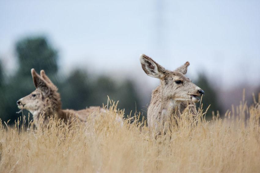 Colorado Landscape Nature Outdoors Animal Deer Wildlife Rocky Mountain Arsenal National Wildlife Refuge