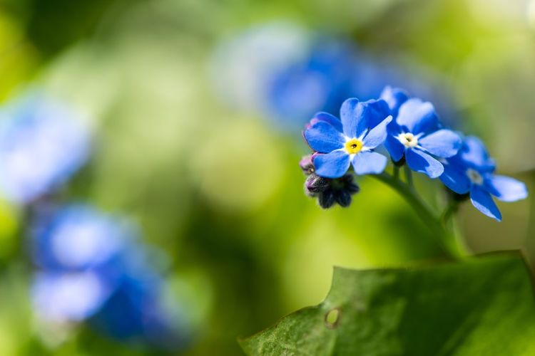 Forget-me-not... Macro_flower Macro Myosotis Springtime Garden Forget Me Not Forget-me-not Flowers,Plants & Garden Flowers Flowering Plant Flower Beauty In Nature Plant Fragility Blue Vulnerability  Petal Freshness Close-up Growth Flower Head Animal Themes Nature