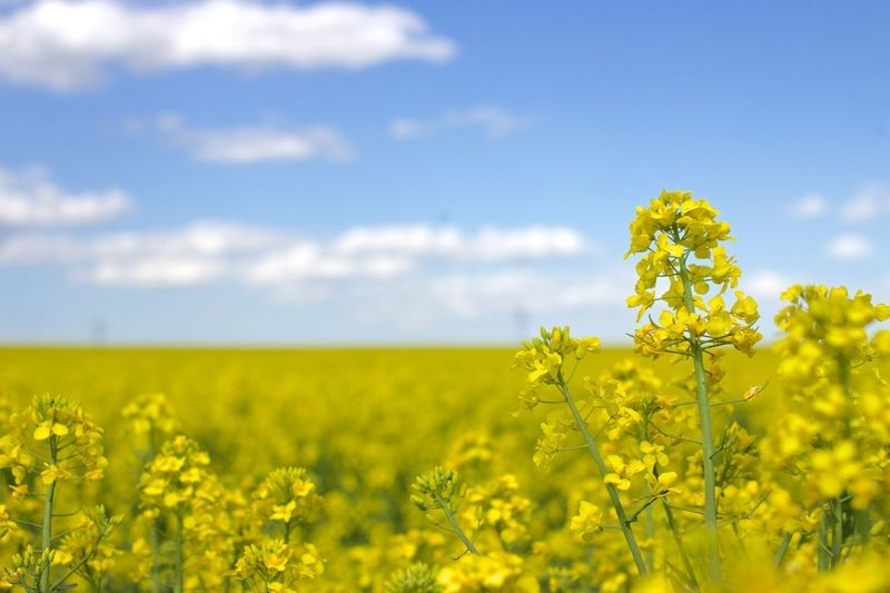 Close-up of yellow flowers in rapeseed field