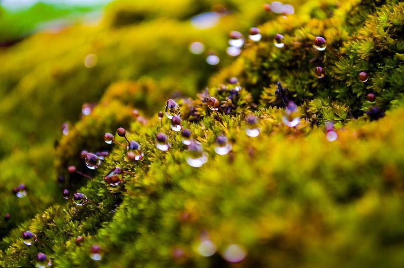 Pearls on the green carpet Anpaphotography AravindNarayanan Close-up Dew Dew Drops Flower Macro Macro Photography Moss Moss & Lichen Nature Nikkor Nikon Nikonphotography Selective Focus