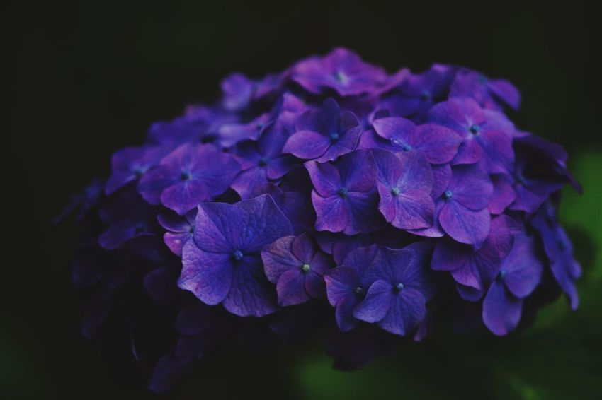 Japan Kamakura Flower Head Flower Hydrangea Petal Purple Scented Springtime Close-up Plant