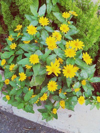 Yellow Flowers Brightcolors