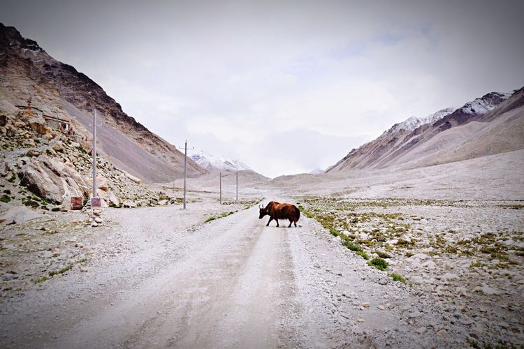 Yak walking on road amidst mountains at tibet