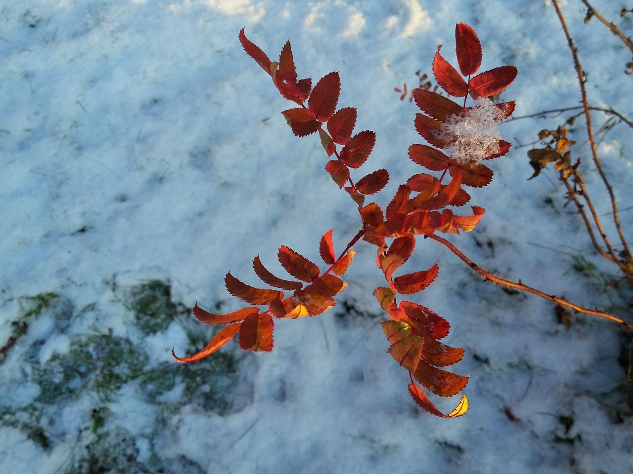 nature, orange color, no people, day, cold temperature, winter, outdoors, beauty in nature, leaf, autumn, close-up, snow, water