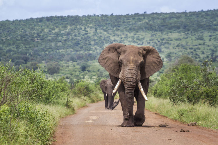 Full length of elephant walking on road