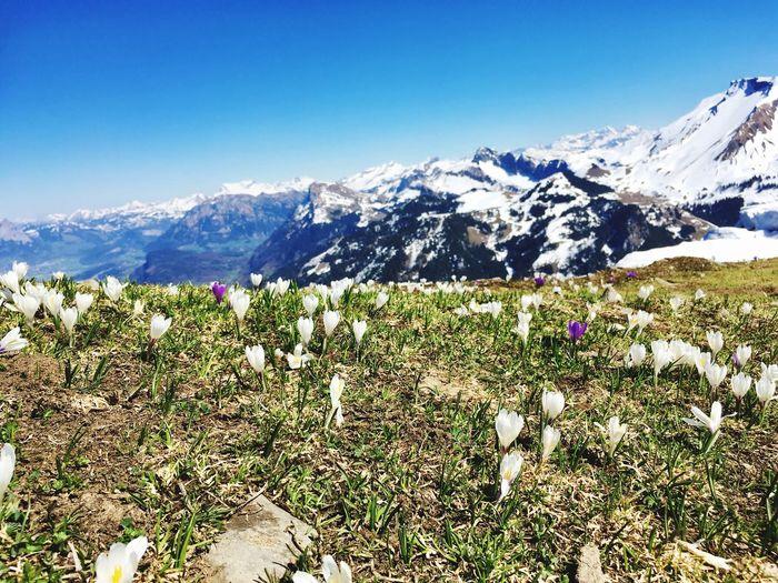 Krokus Flower Krokus Spring Is Coming  Buochserhorn Mountain Beauty In Nature Sky Scenics - Nature Mountain Range Tranquil Scene Tranquility Nature Snowcapped Mountain