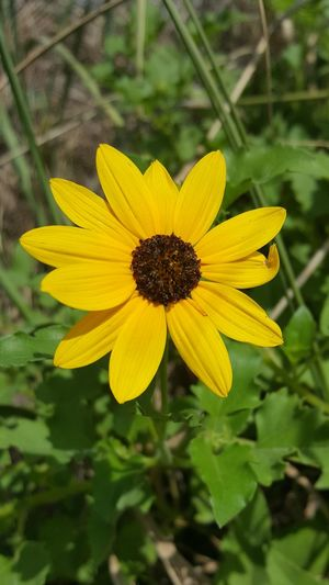 Dune Sunflower Wildflower Wildflowers Wildflowers In Bloom Photo Nature Nature Photography Blooom Flower Flower Collection Flower Head Yellow Beach Sunflower Dune Sunflower Yellow Flower Ocean Dunes Sunflower Outdoors Growth Beauty In Nature Blossom Day Freshness Summer No People Close-up