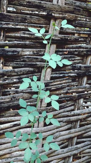 Leaves🌿 Wood - Material Day No People Abundance Backgrounds Outdoors Nature's Love Close-up Green Leaves☘️ Plants 🌱