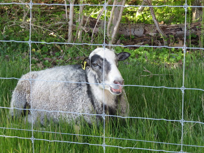 Sheep Protection Safety Chainlink Fence Animal Themes Grass Livestock Springtime Decadence My Best Photo