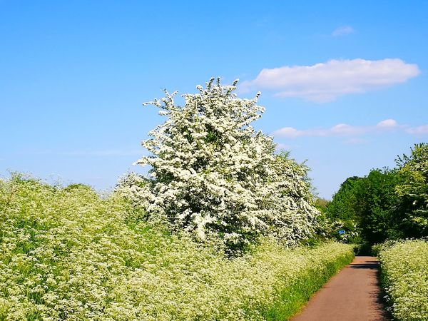 Summer Sunshine Hawthorn Blossom Cow Parsley Hawthorn Hawthorne Tree Tree Blue Flower Palm Tree Sky Close-up Plant Cloud - Sky