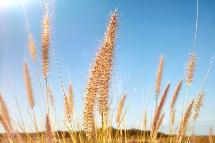 Agriculture Beauty In Nature Blue Cereal Plant Clear Sky Close-up Crop  Day Ear Of Wheat Field Gold Colored Growth Landscape Nature No People Outdoors Plant Rural Scene Scenics Sky Summer Sunlight Tranquil Scene Tranquility Wheat