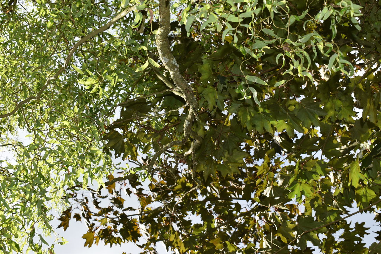 tree, growth, nature, low angle view, branch, leaf, beauty in nature, green color, day, outdoors, no people, fruit, freshness