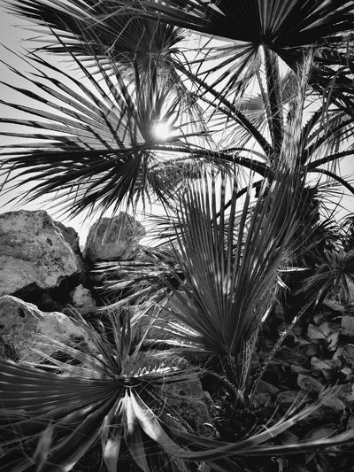 Rayos de Sol, ByN Aguadulce Almería Southernspain Mediterranean  Sun Blackandwhite Full Frame Growth Nature Backgrounds Flower No People Plant Palm Tree Leaf Outdoors Day Beauty In Nature Fragility Freshness Tree