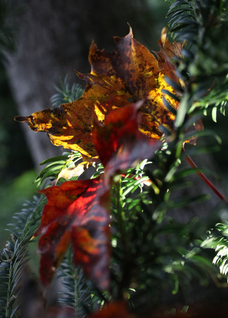 Colourful Autumn Autumn Light Beauty In Nature Leaf Maple Nature Selective Focus Yew