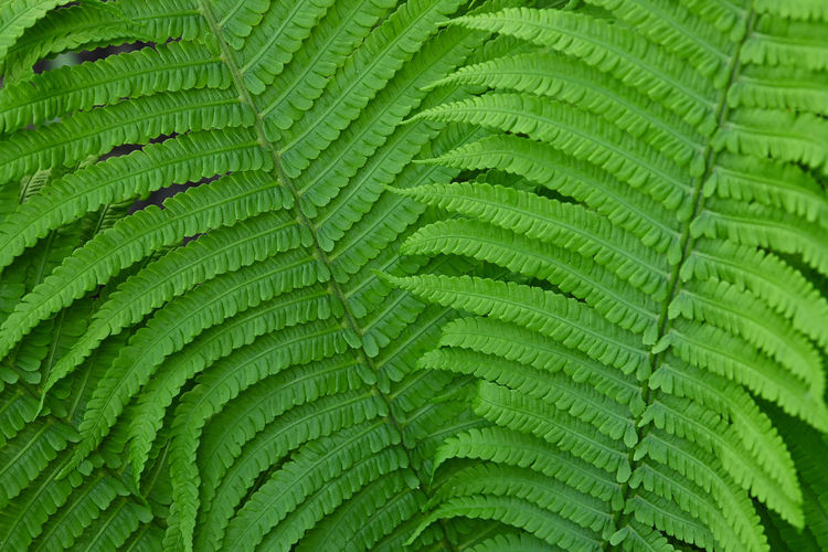 Close up background texture of fresh green fern fronds Green Color Plant Part Leaf Full Frame Backgrounds Fern No People Plant Nature Growth Close-up Beauty In Nature Day Freshness Textured  Lush Foliage Pattern Foliage Outdoors Natural Pattern Leaves Fern Frond Frond Spring Freshness Fragility Nature