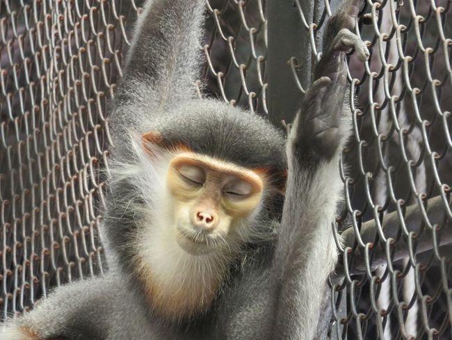 Sleeping Bangkok monkey 11488866 Monkeybusiness  Mammal Thailand No People Animal Themes Connected By Travel