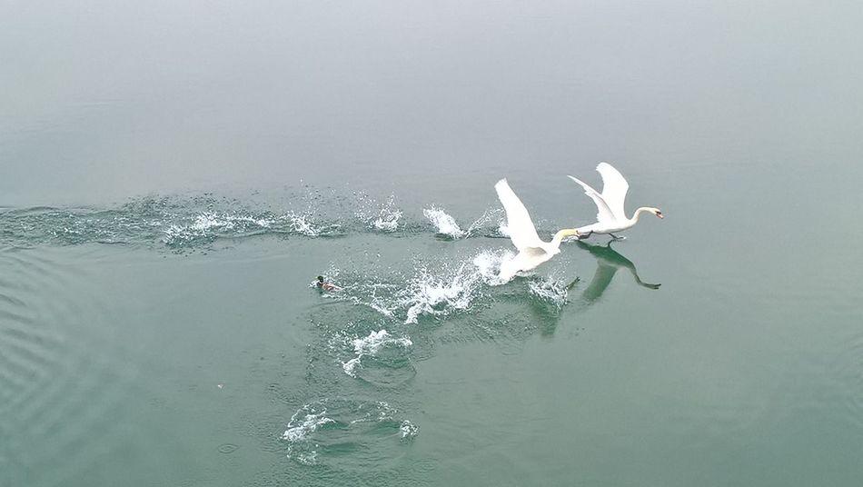 Duck Ducks At The Lake Swans ❤ Swans In Flight Jarun Lake Nature Photography Nature_perfection Naturelover❤ Picoftheday Natureseekers Croatiafulloflife Croatiawithlove Sea Life