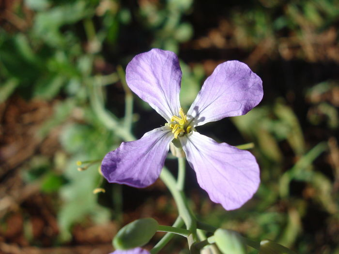Brassicaceae Raphanus Sp. Weedy Beauty In Nature Blooming Brassicaceous Close-up Day Dicotyledon Flower Flower Head Forage, Fragility Freshness Growth Nature No People Outdoors Petal Plant Purple Radish Root Vegetable Seed Plant Vascular Plant