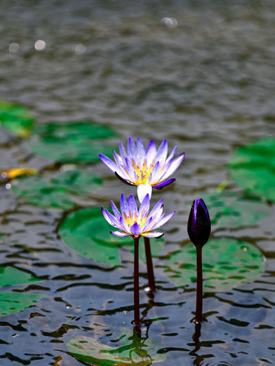 Purple water lily in lake