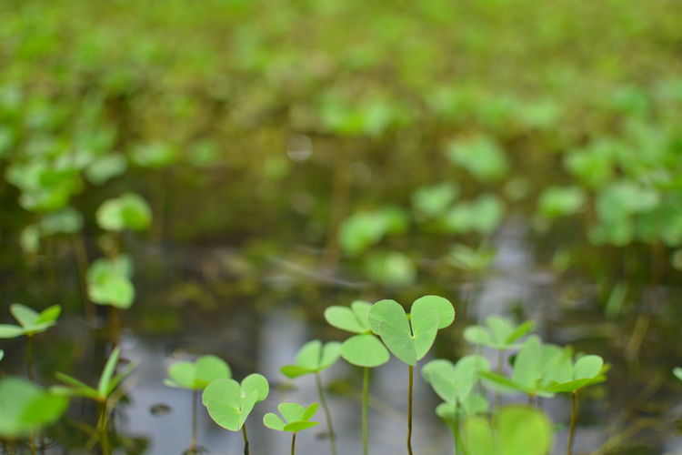 Growth Plant Plant Part Green Color Leaf Beauty In Nature Nature Day Focus On Foreground No People Freshness Close-up Vulnerability  Fragility Selective Focus Outdoors Flower Land Tranquility Field Clover Leaves