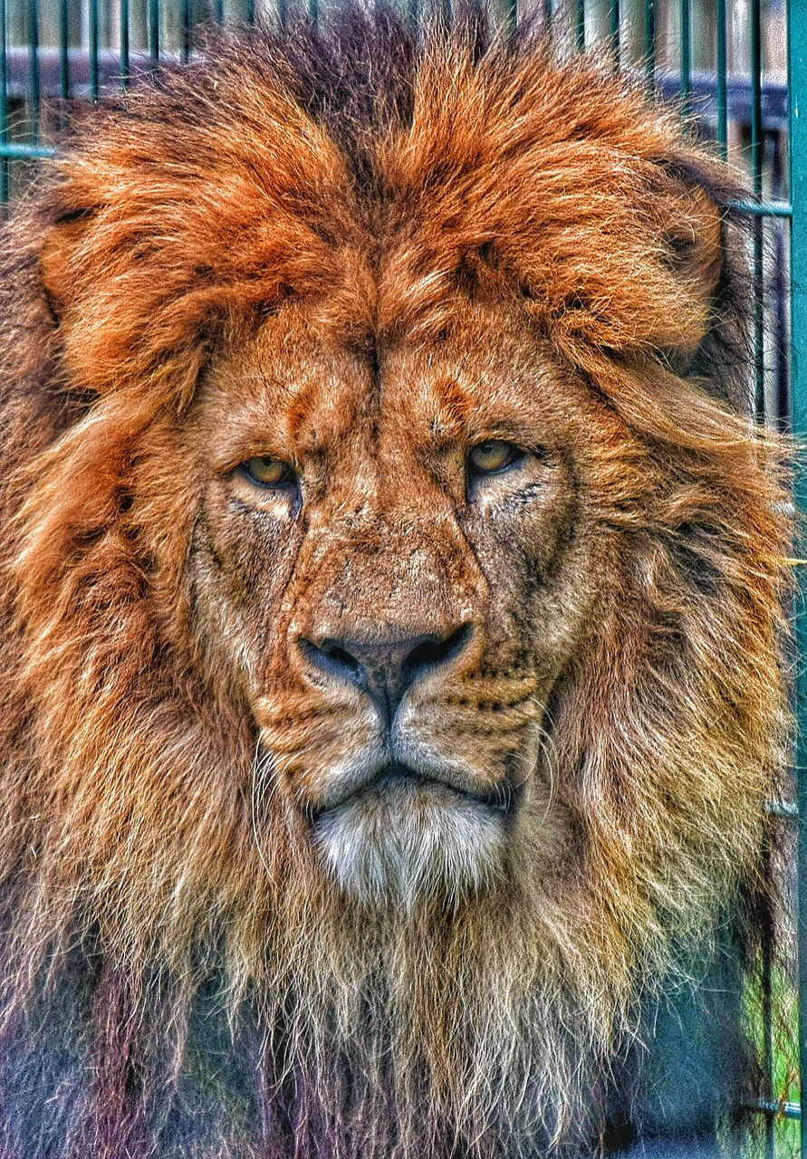 Close-Up Portrait Of Lion At Blackpool Zoo