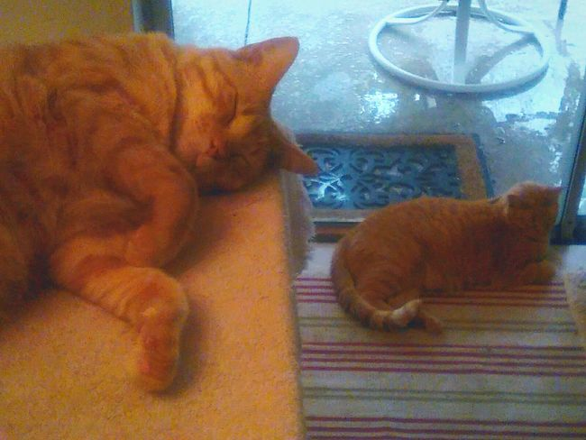Same cat...? 😉 The Magic Mission Cats Orange Cats Cats Chilling Doppleganger Seeing Double Sliding Door Sleeping Indoors  Cat Animal Themes Feline Relaxation Double Trouble LookAlikes Two Of A Kind Split Personality Seeing Is Believing Seeing Is Deceiving Cat On Table Cat By Window Magic Cat Comfy Cat  Same But Different Double Take