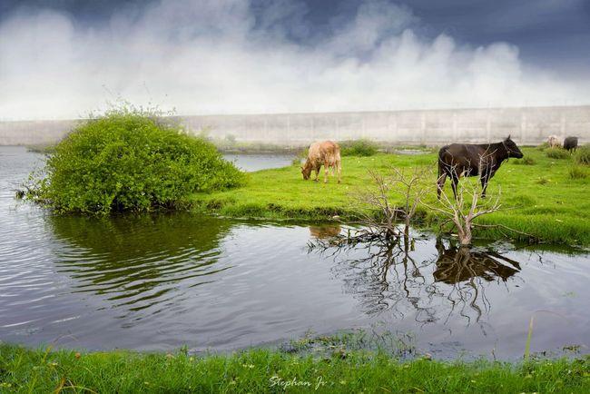 Animals Landscape Scenery Green Greenery Cow Lake View Nikon Kerala