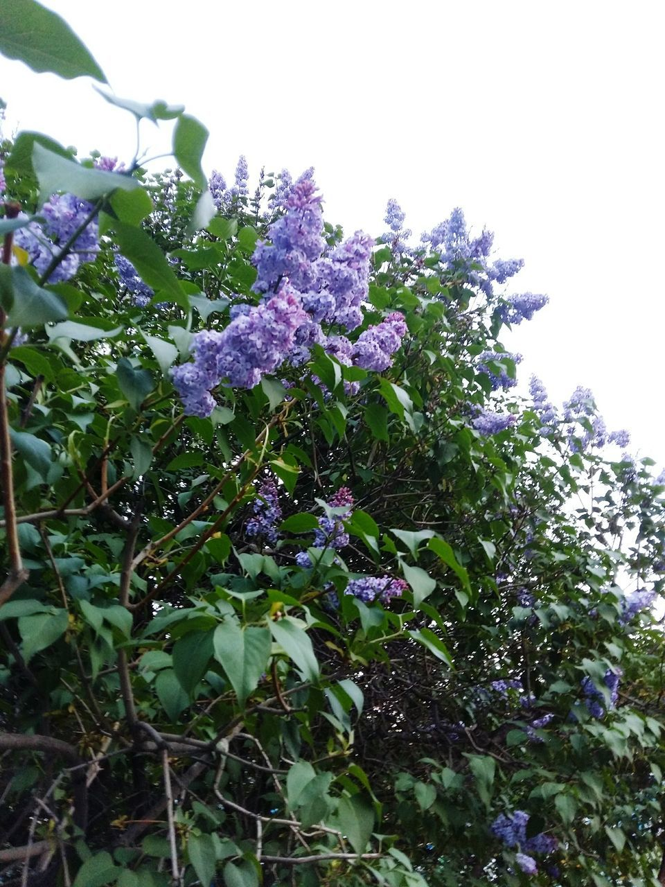 growth, flower, purple, nature, plant, beauty in nature, fragility, leaf, freshness, day, no people, green color, low angle view, outdoors, lilac, close-up, tree, flower head