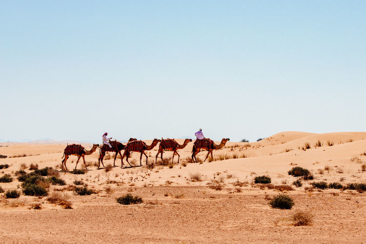 Dubai Dunes Sunlight Travelling Animal Blue Sky Camel Caravan Clear Sky Climate Desert Domestic Animals Environment Group Of Animals Land Landscape Nature No Clouds Outdoors Riding Sand Sand Dune Sky Travel Travel Destinations