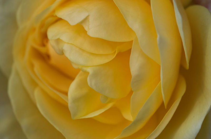 Yellow rose close-up with soft petals Northampton Rose Close Up United Kingdom Amazing Nature Backgrounds Beauty In Nature Blossom British Wildflowers British Wildlife Close-up Day Flower Flower Head Fragility Freshness Full Frame Nature No People Outdoors Peaceful Flowers Petal Rose Macro Yellow Yellow Rose Yellow Rose Collection