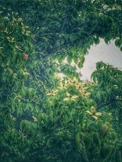 絵画のようにしてしまったけど写真です。ヤマボウシ IPhoneography Plants Edit