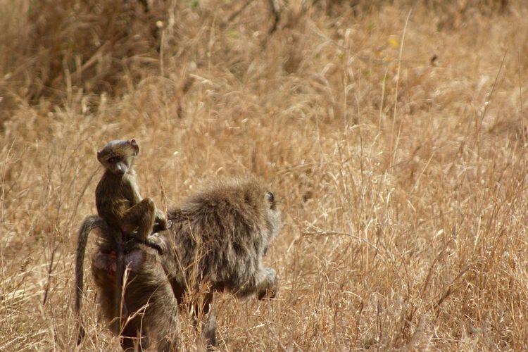Africa Animal Baboon Baby Baboon Baby Baboon Riding Copy Space Long Grass Mother And Baby Baboon Nature Safari Serengeti Serengeti National Park Serengeti, Tanzania Space For Text Tanzania