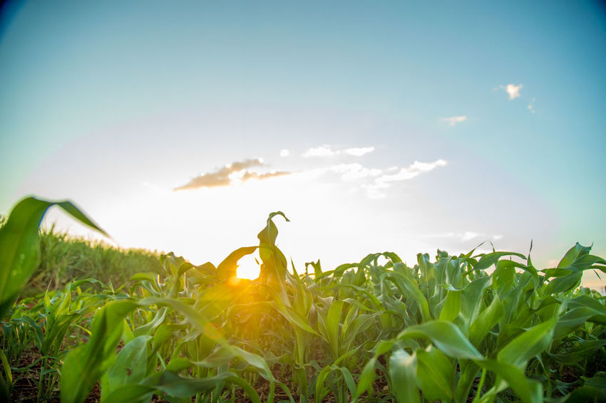 Agriculture Animal Themes Beauty In Nature Close-up Day Field Freshness Grass Green Color Growth Nature No People Outdoors Plant Rural Scene Sky Sorghum Sunlight