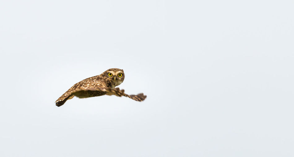 Burowing owl in