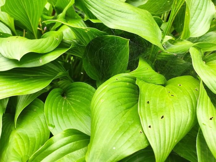 Full frame shot of fresh green leaves