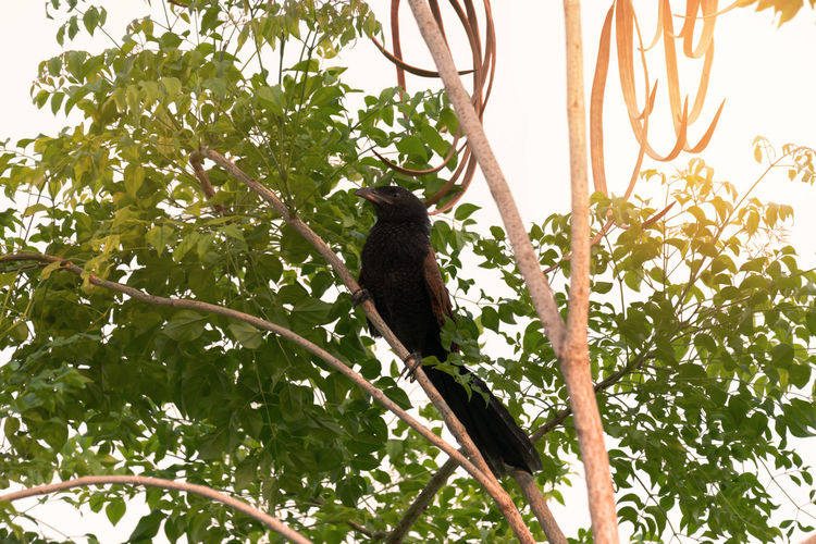 Greater coucal bird perching on indian cork tree.Bird in black and brown color,low angle view. Animal Animal Themes Animal Wildlife Animals In The Wild Bird Black Bird Branch Coucal Day Green Color Growth Leaf Low Angle View Nature No People One Animal Outdoors Perching Plant Plant Part Tree Vertebrate