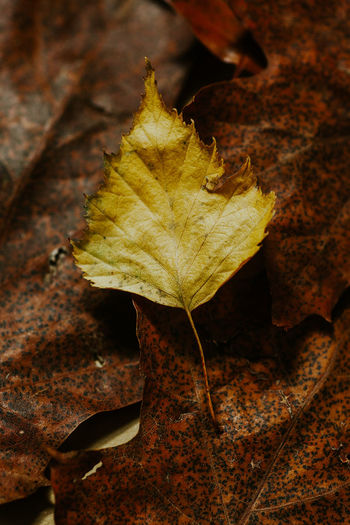 High angle view of dry maple leaf