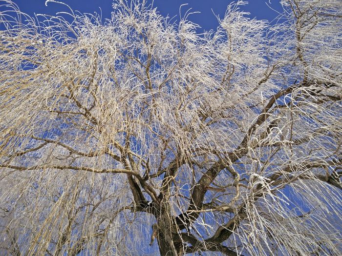 Beauty In Nature Beauty In Nature Branch Frost Hoar Frost Low Angle View Nature Tree White Frost Willow Winter Winter Wonderland ❄