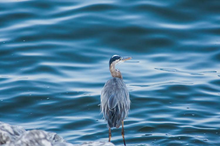 Gray heron in sea