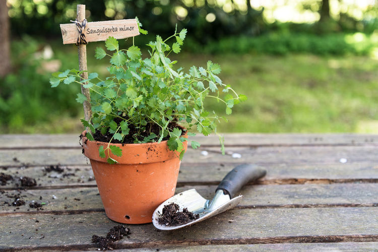 Potted salad burnet (Sanguisorba minor) with a wooden plant marker and a planting shovel on a rustic wooden table in the garden, copy space Burnet Copy Space Gardening Herb Salad Day Flower Pot Food Freshness Front Or Back Yard Garden Growth Nature No People Outdoors Potted Plant Sanguisorba Minor