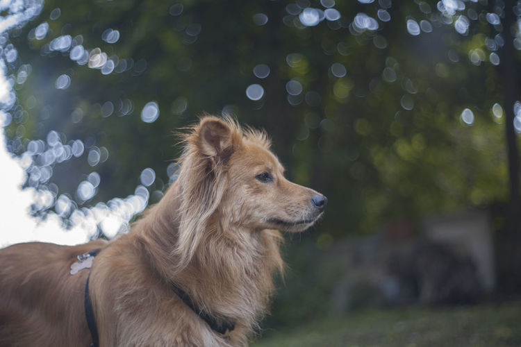 Animal Animal Body Part Animal Head  Animal Themes Bokeh Brown Canine Close-up Day Dog Domestic Animals Focus On Foreground Mammal Nature No People Outdoors Pet Collar Pets Portrait Selective Focus Pet Portraits